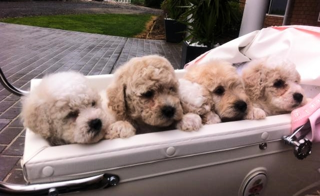 Puppies in pram.jpeg