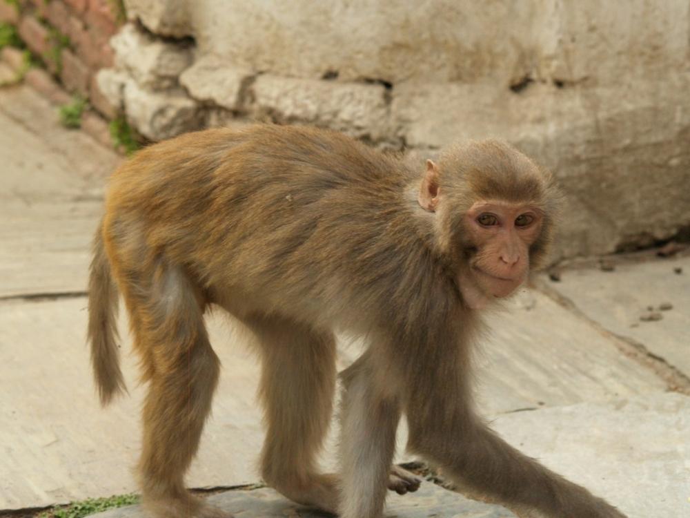 Monkey at Swayambhunath Stupa, Kathmandu, Nepal