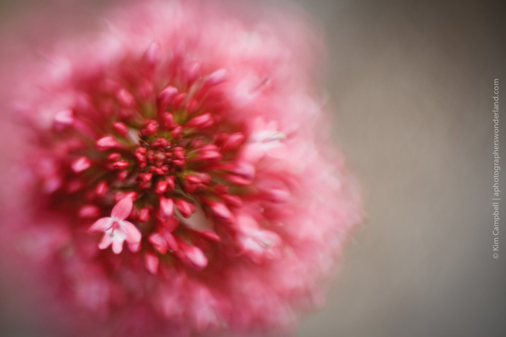 Pink Flower - LENSBABY Sweet 35 with Macro Adaptor