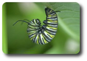 "The fully-grown caterpillar assumes the ""J"" position just before pupation."