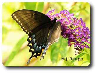 Black tiger swallowtails mimic the distasteful pipevine swallowtails.