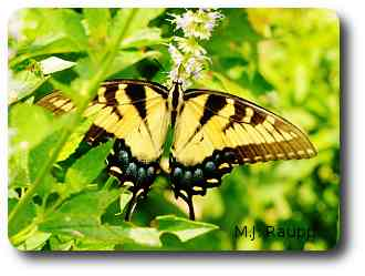 In Maryland, yellow and black tigers are the common form.