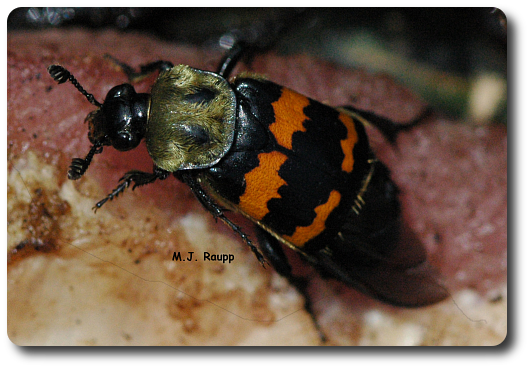 Nicrophorus tomentosus stops to sample a piece of meat.