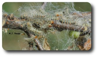 Large redheaded fall webworms writhe within their web.