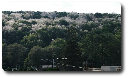 A hillside near Kutztown, PA shrouded by fall webworm nests.