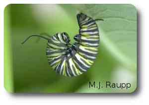 "The fully grown caterpillar assumes the ""J"" position just before pupation."