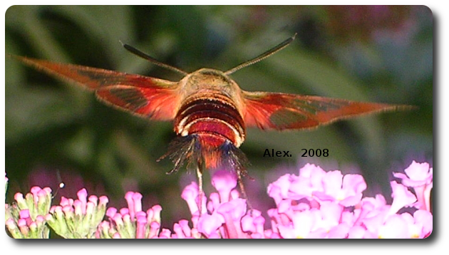 A hummingbird moth zooms off to the next flower.