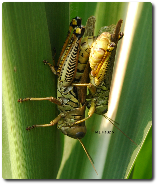 When not at the beach, this mating pair of differential grasshoppers enjoys hanging out on herbaceous plants.
