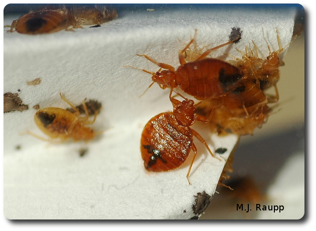 Bed bug nymphs and adults chillin' in a bottle waiting to be fed.