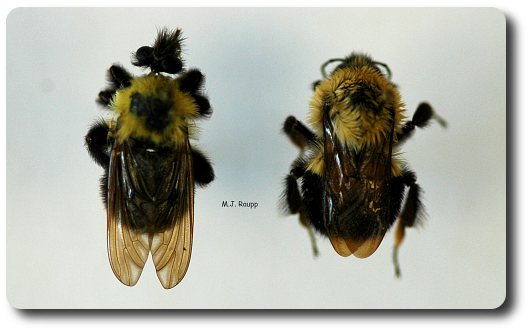 Robber fly or Bumble bee?