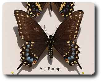The black swallowtail is a common visitor to gardens and meadows.