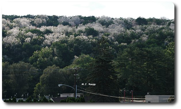 A hillside near Kutztown, PA is shrouded by fall webworm nests.