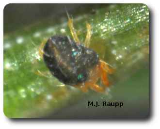 Adult spruce spider mites are less than half a millimeter in length.