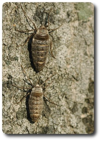 Two wingless female fall cankerworm moths bask in the January sun.