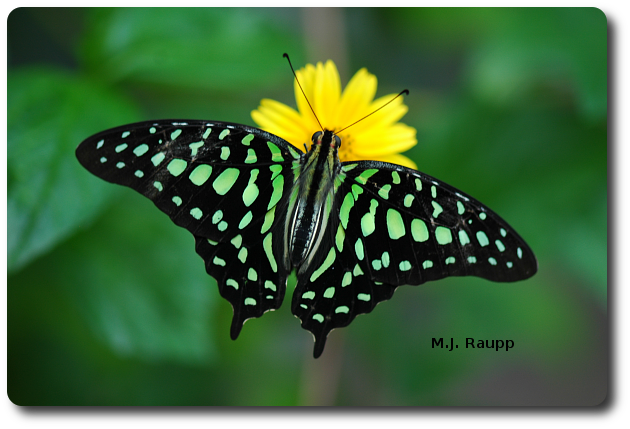 Colors of the tailed jay butterfly are produced by thousands of scalers on its wings.