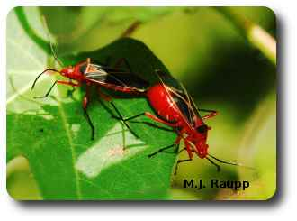 Bright pigments obtained from plants give the cotton stainer its bright red color.