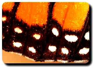 Rows of tiny scales line the wings of this monarch butterfly creating the orange and black characteristics of this species.