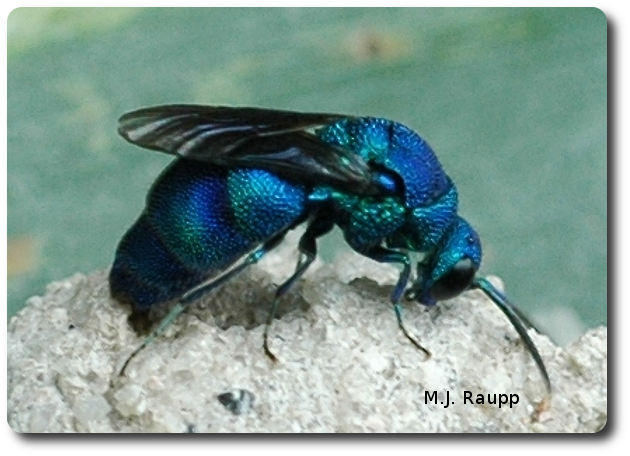 By inserting her ovipositor into the pot of a potter wasp and laying an egg, the cuckoo wasp finds food and shelter for her young.