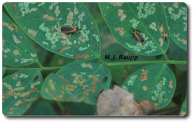 A second generation of locust leafminers begins to eat leaves already attacked by larvae.