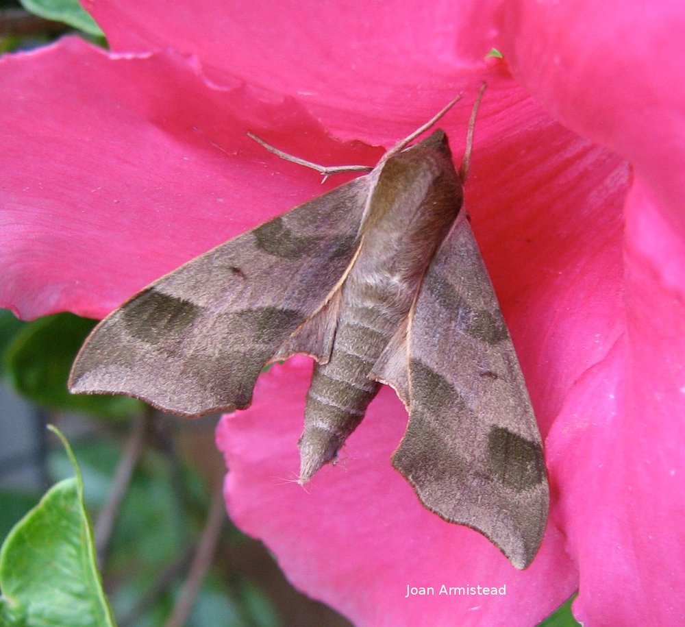 The Virginia creeper sphinx uses its long proboscis to sip nectar. Photo credit Joan Armistead.
