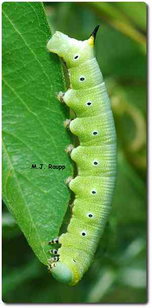 Sphingid caterpillars are called hornworms for obvious reasons.