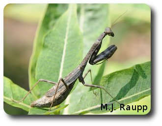 A gorgeous Carolina mantid waits for a meal or perhaps a mate who might be a dinner guest.