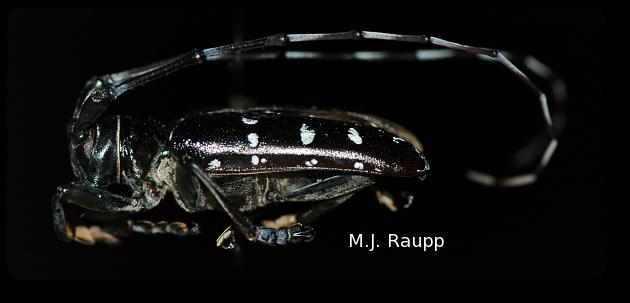 Asian longhorned beetle damage