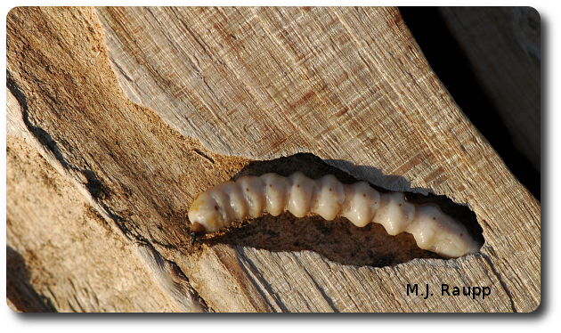 As larvae bore beneath the bark, they kill life-giving tissues and weaken branches and trunks.