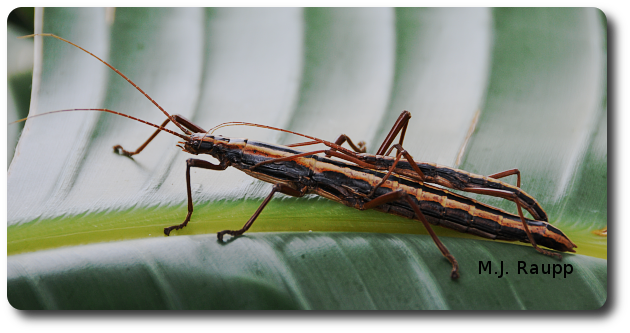 The female walkingstick dwarfs the male on her back.