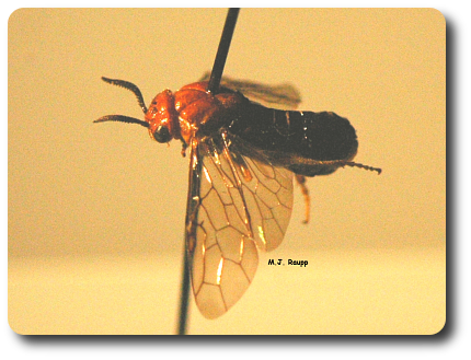 Sawflies are primitive relative of bees and wasps. Large pins through their bodies really hurt.