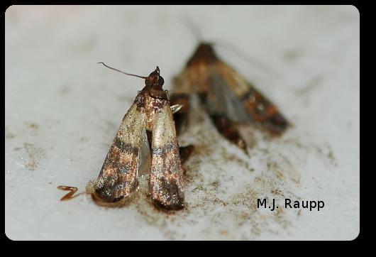 Pantry Surprises Indian Meal Moth Plodia Interpunctella