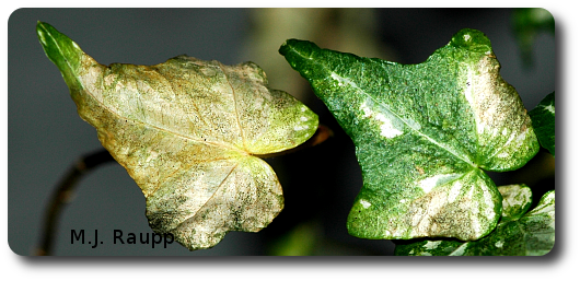 Brown, discolored leaves can be a sign of thrips at work.