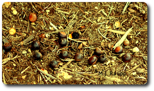 A small trove of acorns provided food and shelter for this year's crop of acorn weevils.