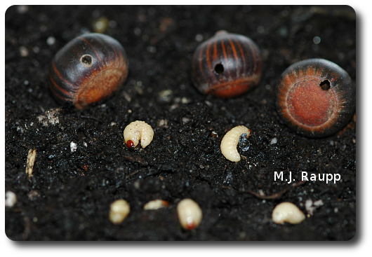 Legless weevil larvae emerge form the circular holes in acorns and enter the soil in advance of winter.