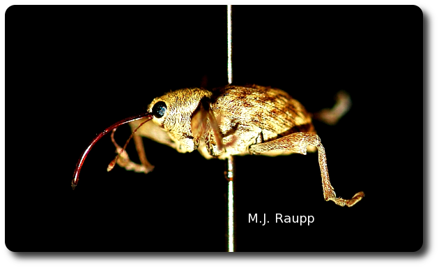 The acorns weevil's proboscis is remarkable by any standard.