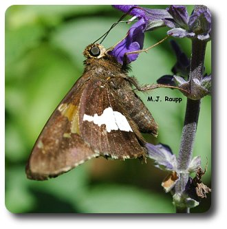 Adult silver spotted skippers are regular visitors to the garden.