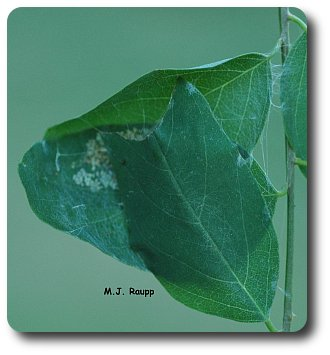 Large silver spotted skipper larvae web together entire leaves.