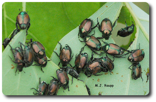 These beetles are beautiful, but create havoc for trees, shrubs, and herbaceous plants.