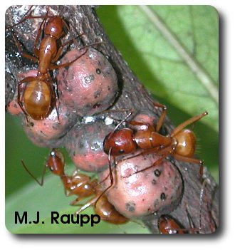 Large ants gather honeydew from the scales and provide protection from would be predators.