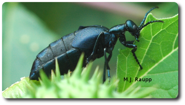 Large blister beetles in the genus Meloe, sometimes called oil beetles, find noxious Jimson weed a tasty treat.