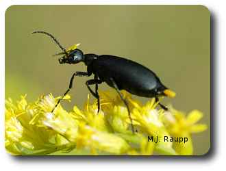 Epicauta blister beetles are common visitors to goldenrod.