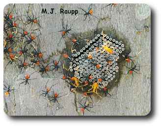 Bright red abdomens and orange antennae deck out jazzy assassin bug nymphs as they hatch from their eggs.