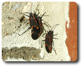 Boxelder bugs bask on bricks on bright winter days.