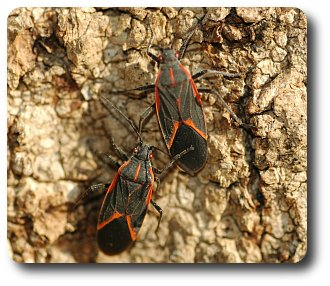 Two boxelder bugs preparing to leave the boxelder tree to find an overwintering spot.