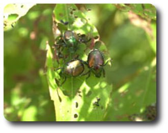 Japanese beetles feeding and frolicking.