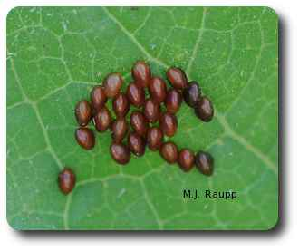 Clusters of squashed bug eggs can be crushed or plucked from the plant.
