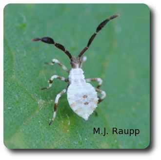 Older squash bug nymphs turn a ghostly white.