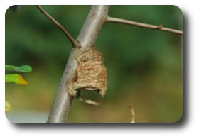 In colder locations mantid eggs survive the winter in an egg case called an ootheca.
