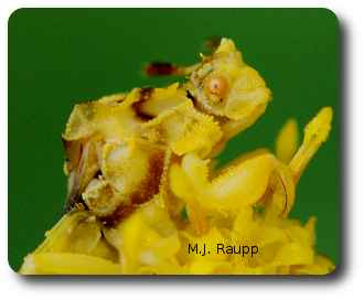 Ambush bugs can wait motionless for hours for prey to stray into striking distance.
