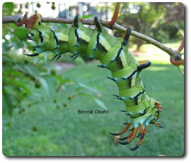 Although it looks scary, the hickory horned devil is harmless to people.